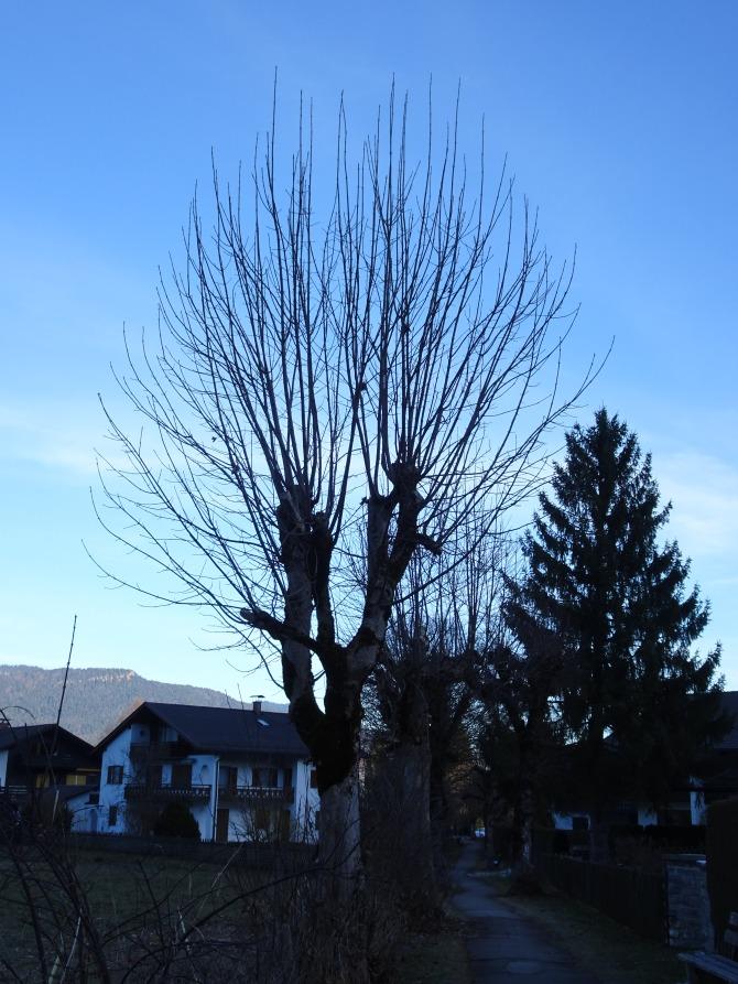 Trees in Garmisch