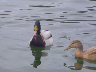 Cee's Fun Foto Challenge: Duck DuckGoose