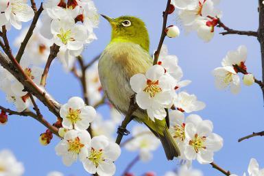 springbird