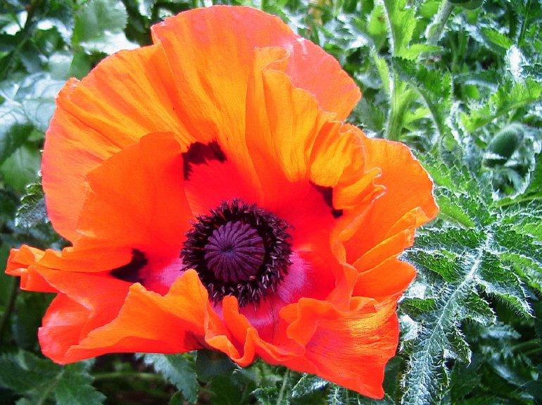 Orange_poppy