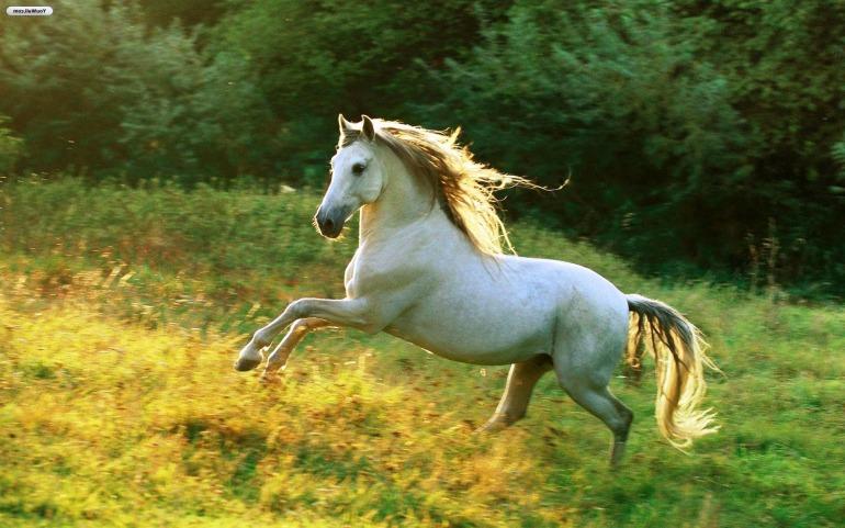 white-horse-24