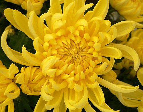 yellow-chrysanthemum-meaning
