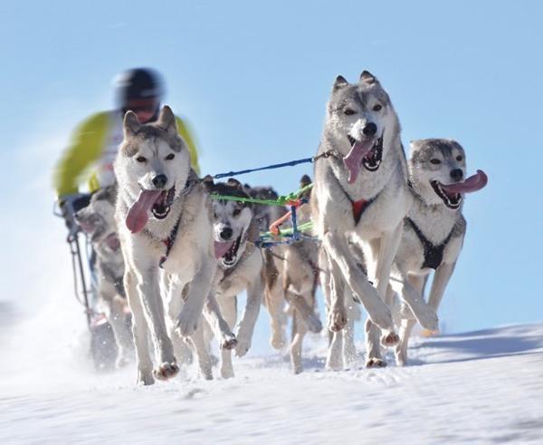 c2ba2f43e0c5169f8493f3509a766dc8--alaska-dog-sled-dogs