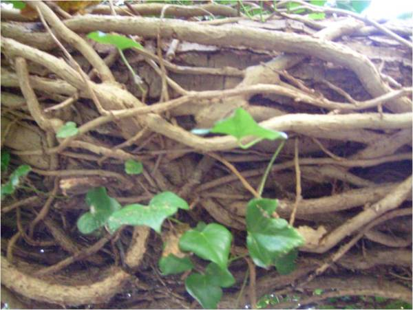vines-coiling