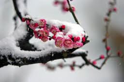 plum blossom in the snow